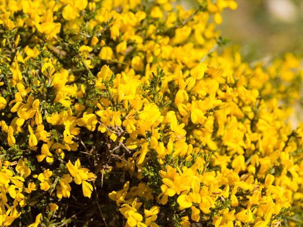 A 10 legjobb cserje sárga virággal