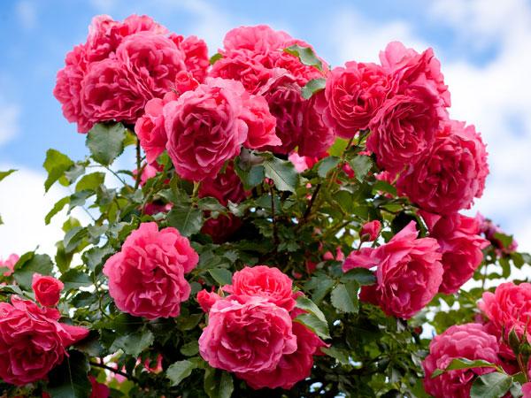 10 Fajta illatos rózsa nő