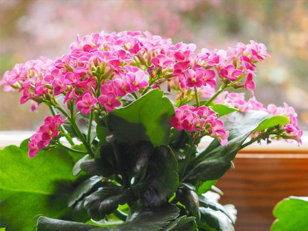 A legjobb szobanövények vörös virágokkal