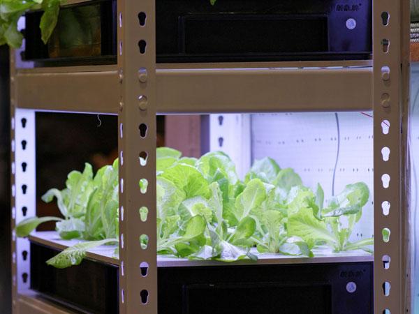 A Peperomia növények beltéri termesztésének módja